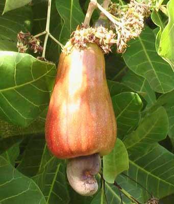 nutritional value cashew