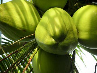 health benefits coconuts