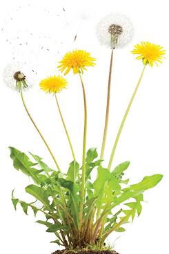 dandelion_plant